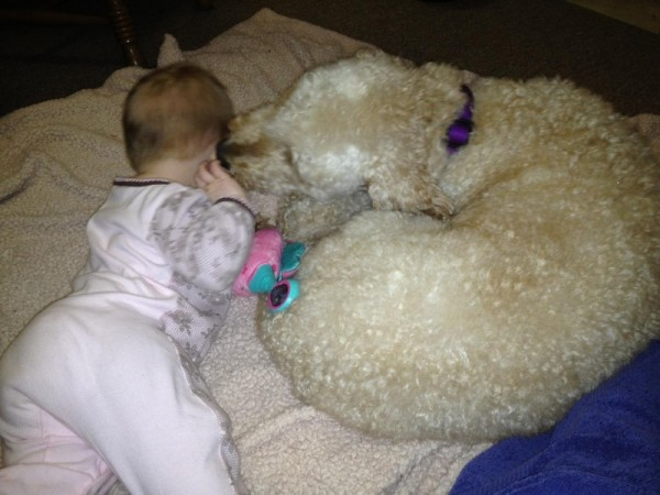 Our sweet labradoodle is giving our baby kisses