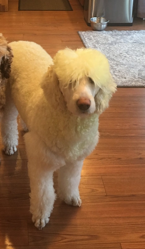 Willow is a cream labradoodle