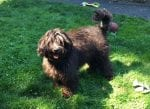 daisy is a black sable  labradoodle